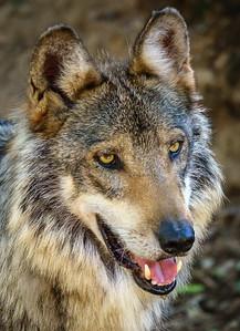Mexican Wolf, Arizona-Sonora Desert Museum