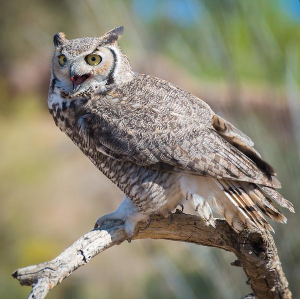 Great Horned Owl, Arizona-Sonora Desert Museum