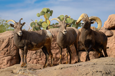 Desert bighorn Sheep at Arizona-Sonora Desert Museum
