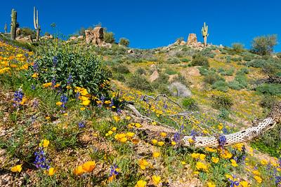 Bartlett Lake Wildflowers, Arizona