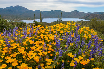Bartlett Lake Wildflowers, Arizona