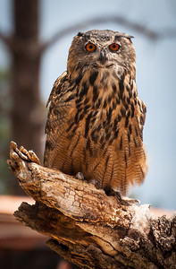 Owl, at Bearizona