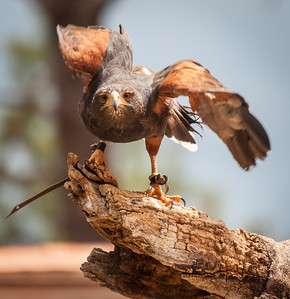 Harris Hawk, at Bearizona