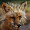 A sly fox, at Bearizona
