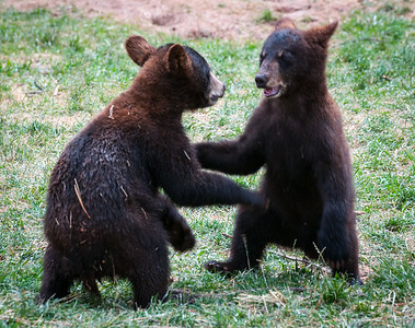 Bear Cubs, at Bearizona