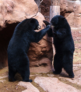 Bears, at Bearizona