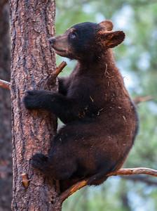 Bear Cub, at Bearizona