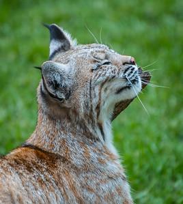Bobcat, at Bearizona