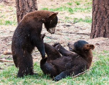 Bear Cubs, at Bearizona