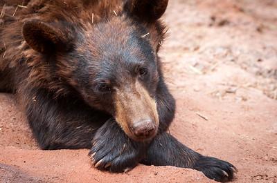 Bear, at Bearizona