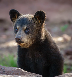 A bear cub, at Bearizona