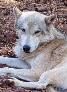 Tundra Wolf, at Bearizona