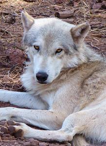 Tundra Wolf, at Bearizona