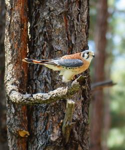 Kestrel Falcon, at Bearizona