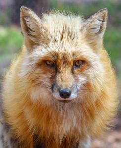 Red Fox, at Bearizona
