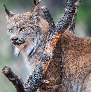 Canadian Lynx, at Bearizona