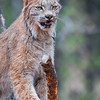 Canadian Lynx, at Bearizona