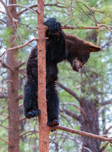 Bear Cub, at Bearizona