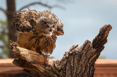 Owl, at Bearizona