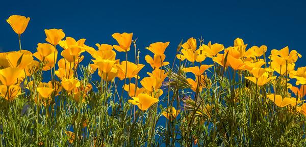 Bush Highway Poppies, Arizona