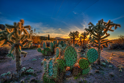 Backlit Cacti Along Bush Highway, Arizona