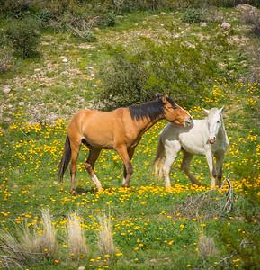 Salt River Wild Horses, Arizona
