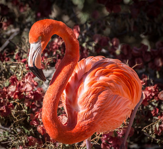 Flamingo, At Wildlife World Zoo and Aquarium, Litchfiled Park, Arizona