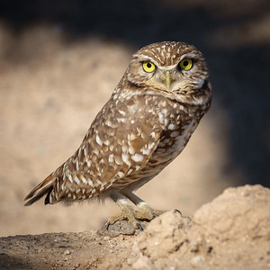 00502 Burrowing Owl