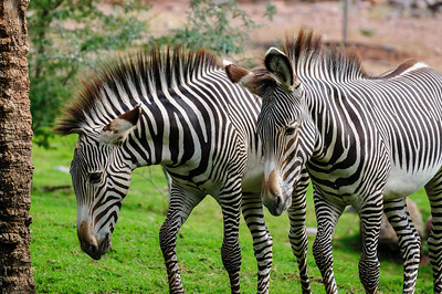 Zebras, at the Phoenix Zoo, Arizona