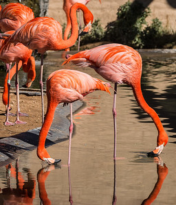 Flamingoes, At Wildlife World Zoo and Aquarium, Litchfiled Park, Arizona