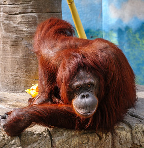Orangutan, at the Phoenix Zoo, Arizona
