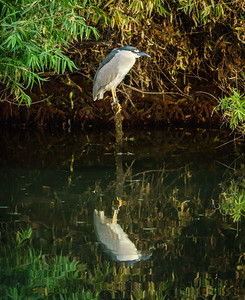 Black-crowned night heron, at Riparian Preserve at Water Ranch, Gilbert, Arizona