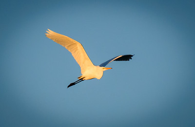 Egret, at Riparian Preserve at Water Ranch, Gilbert, Arizona