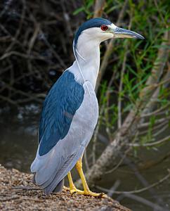 2384 Black-Crowned Night Heron