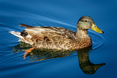 Duck, at Riparian Preserve at Water Ranch, Gilbert, Arizona