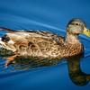 Duck, at Riparian Preserve at Water Ranch, Gilbert, Arizona