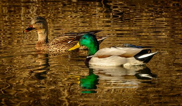 Ducks, at Riparian Preserve at Water Ranch, Gilbert, Arizona