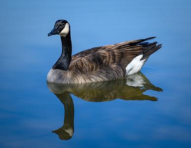 3684 Canadian Goose
