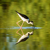 Black-necked stilt, at Riparian Preserve at Water Ranch, Gilbert, Arizona