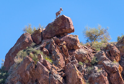 Saguaro Lake Desert Bighorn Sheep, Arizona