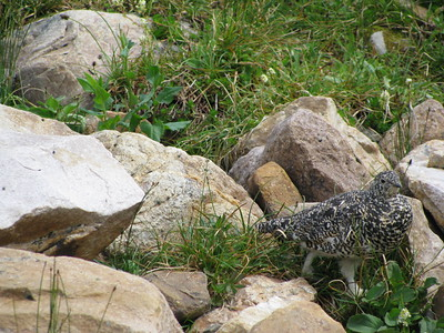 Cavell - Momma Willow Ptarmigan