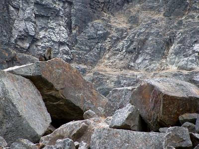 Cavell - Marmot