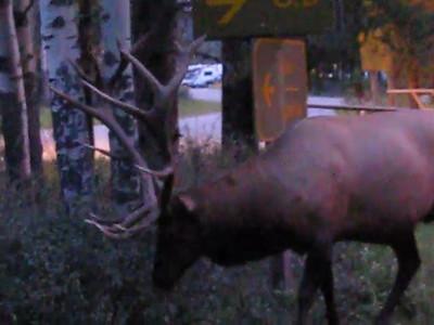 Wapiti Campground - Elk video 2