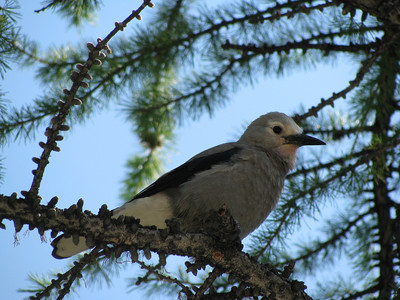 Six Glaciers Grey Jay