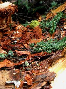 Wilcox - Warm Pine Scent