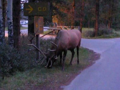 Wapiti Campground - Elk video 1
