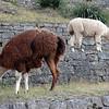 Alpacas in Machu Picchu