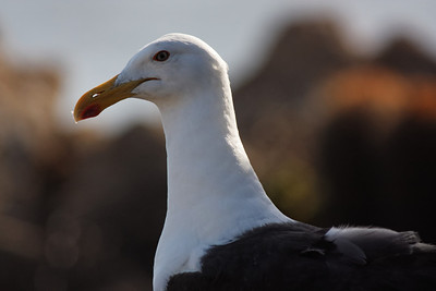 Kelp Gull (Larus dominicanus) - Las Cruces, Chile