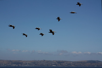 Pelicans - Las Cruces, Chile