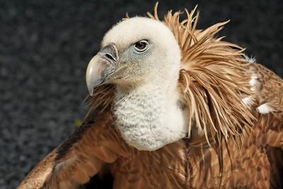 Grand vautour fauve, Gyps fulvus - Donjon des Aigles - Beaucens, Pyrénées, April 2006
